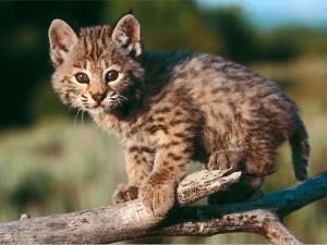 bobcats06