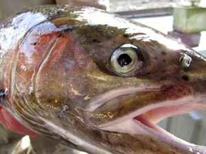When free-flowing rivers are dammed and channelized, migratory fish such as the Southern steelhead trout are unable to reach their spawning grounds, and the entire population declines. Photo: Jennifer Strickland, USFWS.
