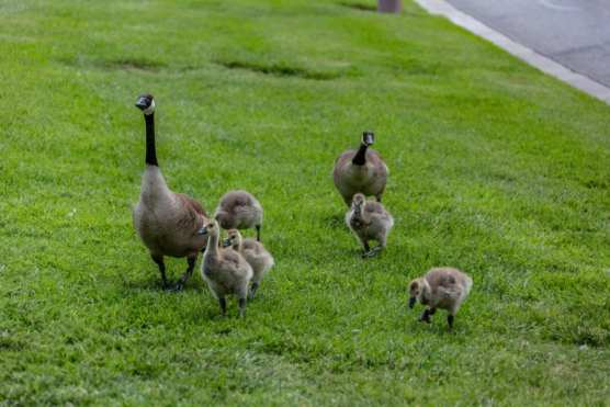 A family of geese grazes near Bridgeport Marketplace Lake in Valencia. | Photo: Cory Rubin/The Signal.