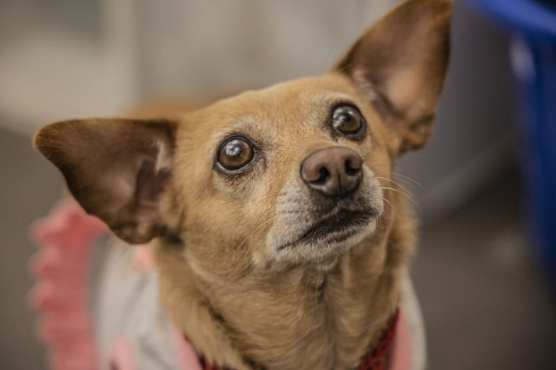 Peanut is one of the dogs that the non-profit pet shop Shelter Hope is actively working to re-home, on December 28, 2019. | Photo: Bobby Block / The Signal.