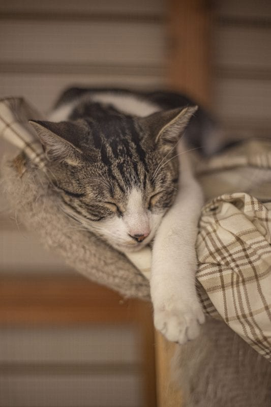 Sgt. Pepper, a cat the Shelter Hope pet shop hopes to see adopted, sleeps in his cage as customers pass by, on December 28, 2019. | Photo: Bobby Block / The Signal.