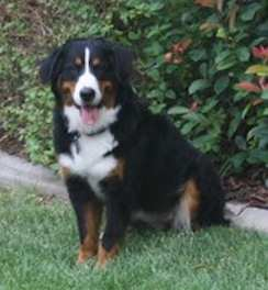 Bernese Mountain Dog Lucy
