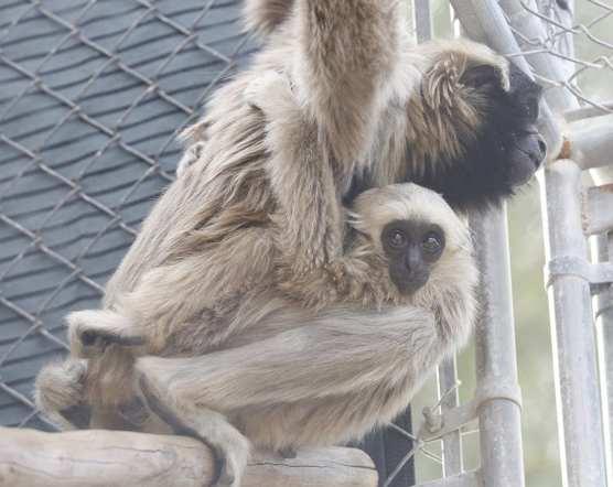 gibbons conservation center leaving SCV