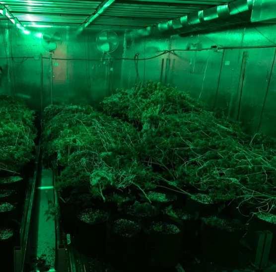240 marijuana plants