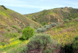 Mustard Hill in Bloom at Mentryville