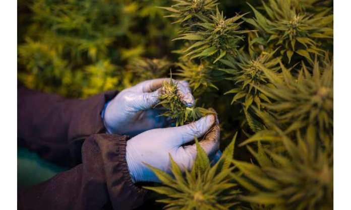 In 2017, Lesotho become the first country in Africa to allow the cultivation of cannabis for medicinal purposes