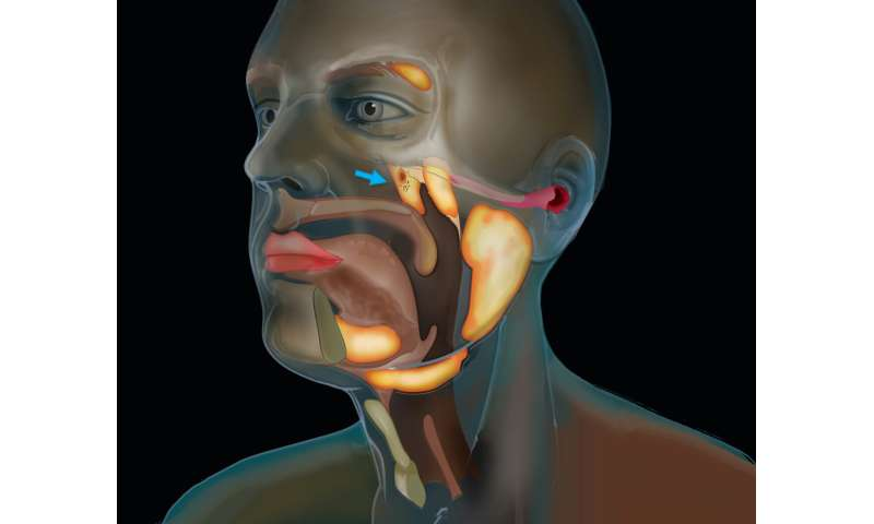 Cancer researchers discover new salivary gland