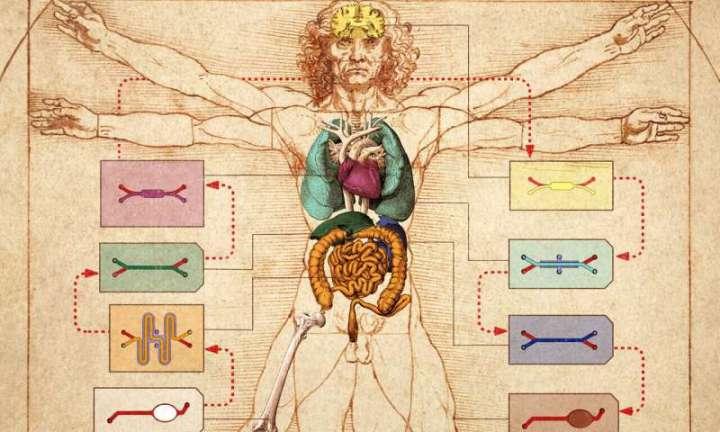 Human Body-on-Chip platform enables in vitro prediction of drug behaviors in humans