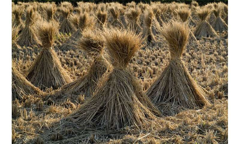 Repurposing straw lets farmers grow more food with less water and fertilizer