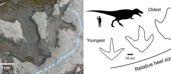 Parents of foot-tailed tyrannosaur couldn't keep up with their leaner offspring, fossil footprints reveal