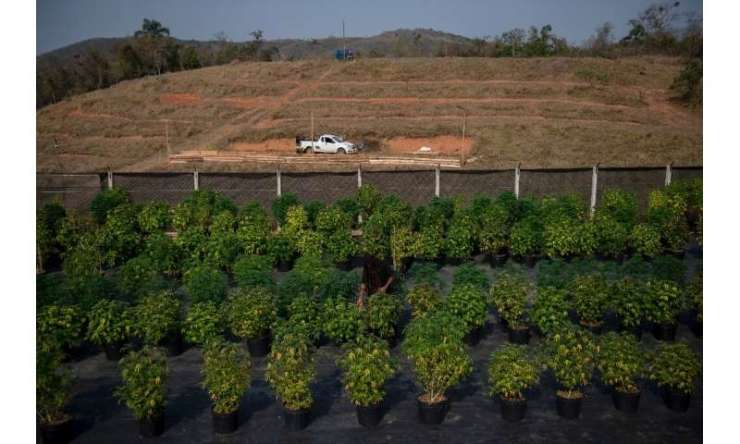Cannabis plants are seen at the Apepi farm, which uses them to make therapeutic oil to help patients with seizures and other problems