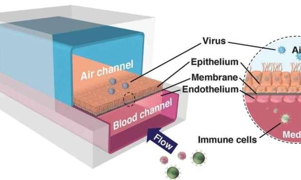 Human organ chips enable COVID-19 drug repurposing