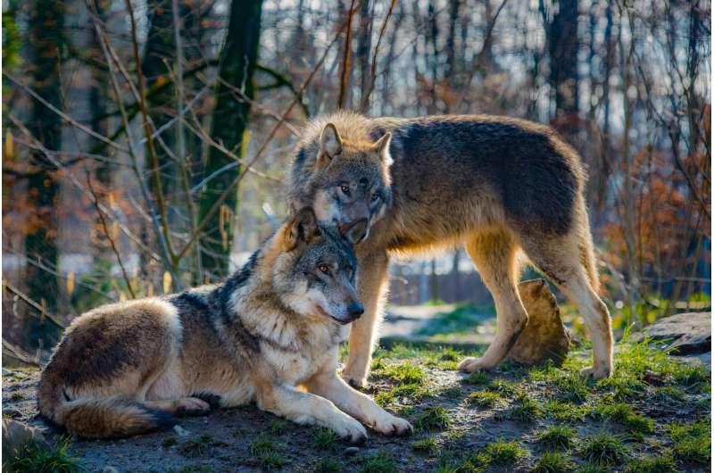 Hundreds of Idaho wolves could be killed under new legislation