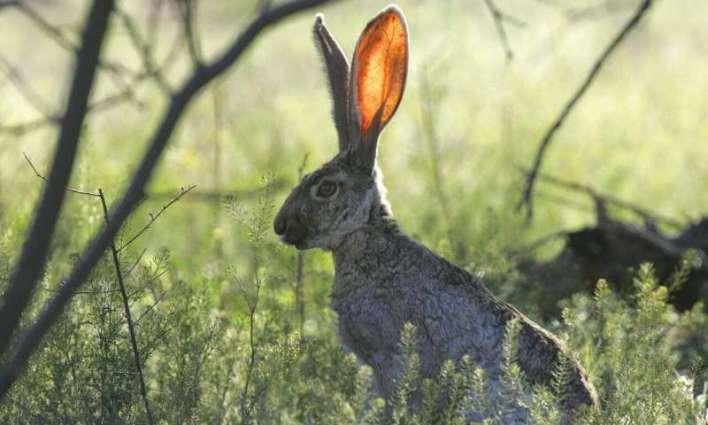 mammal ear