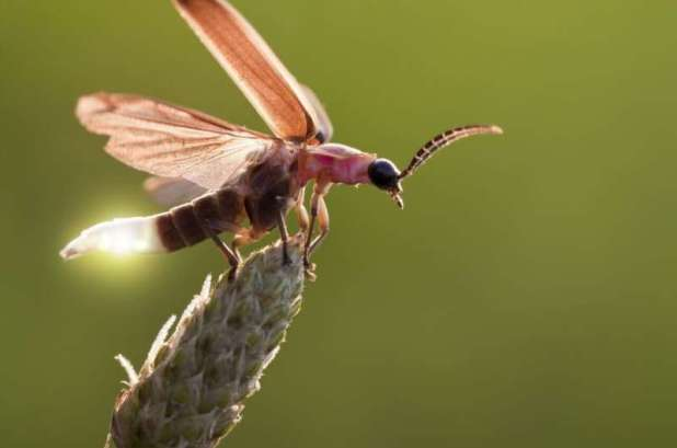 Fireflies have potential - protective 'musical armor' against bats