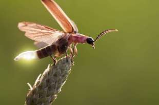 Fireflies have potential – protective 'musical armor' against bats