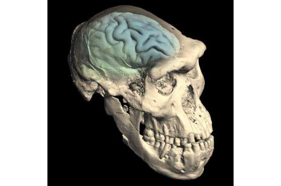 The modern human brain originated in Africa about 1.7 million years ago