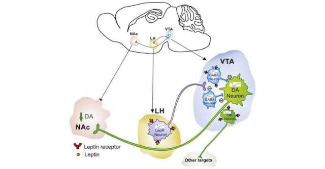 Leptin puts the brakes on eating via novel neurocircuit