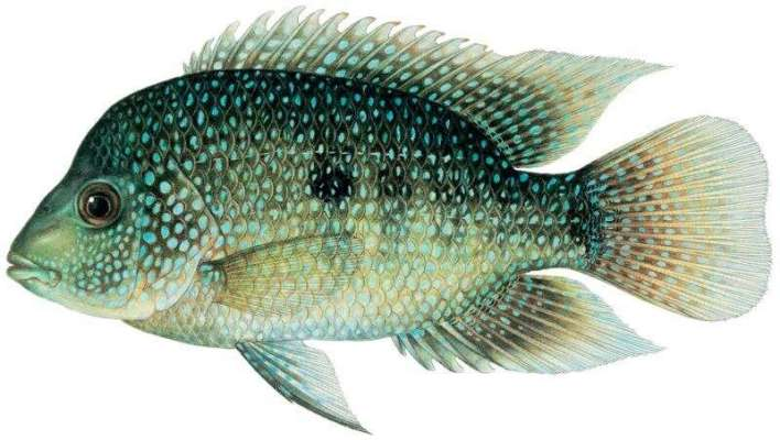 Second cichlid fish species native to Mexico invading waterways in Louisiana