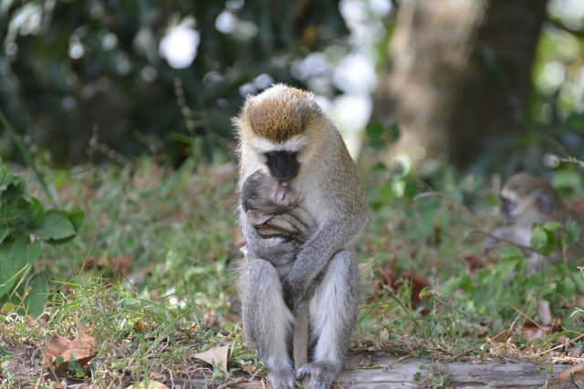 monkeys are like humans