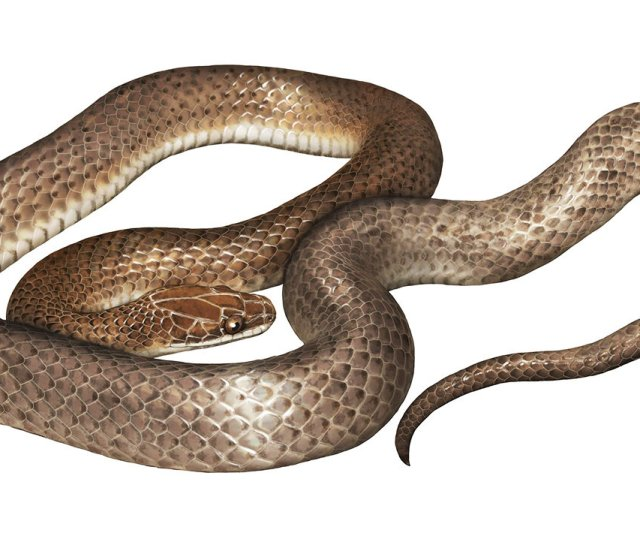 Herpetologists Describe New Species Of Snake Found In Stomach Of