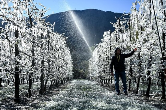 Sparkling apples in Italy are frozen to survive