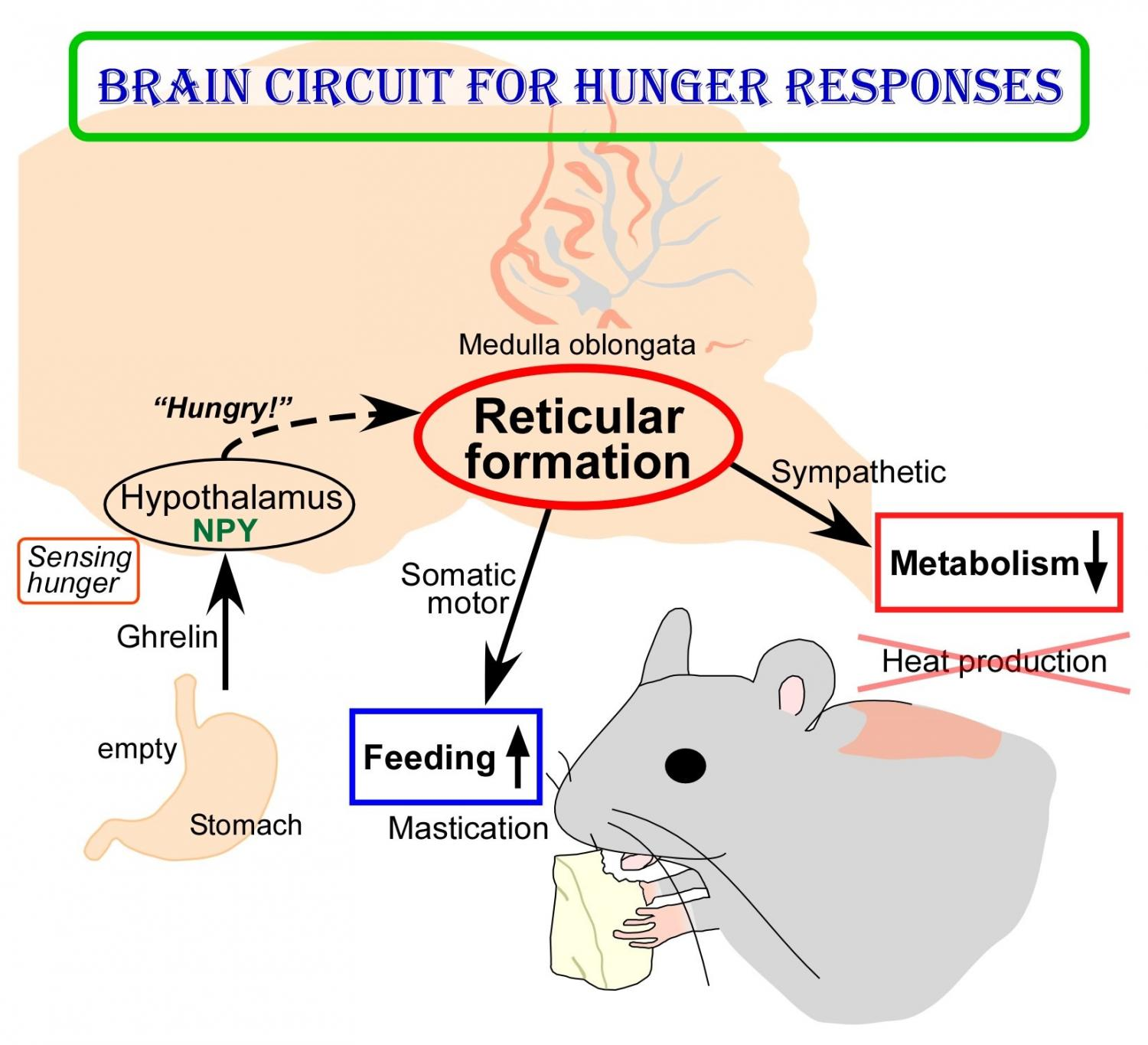 New Insights Into Brain Circuit For Hunger Responses