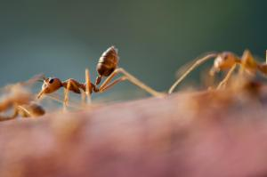 Working ants that can shrink their brains and then breed them as needed