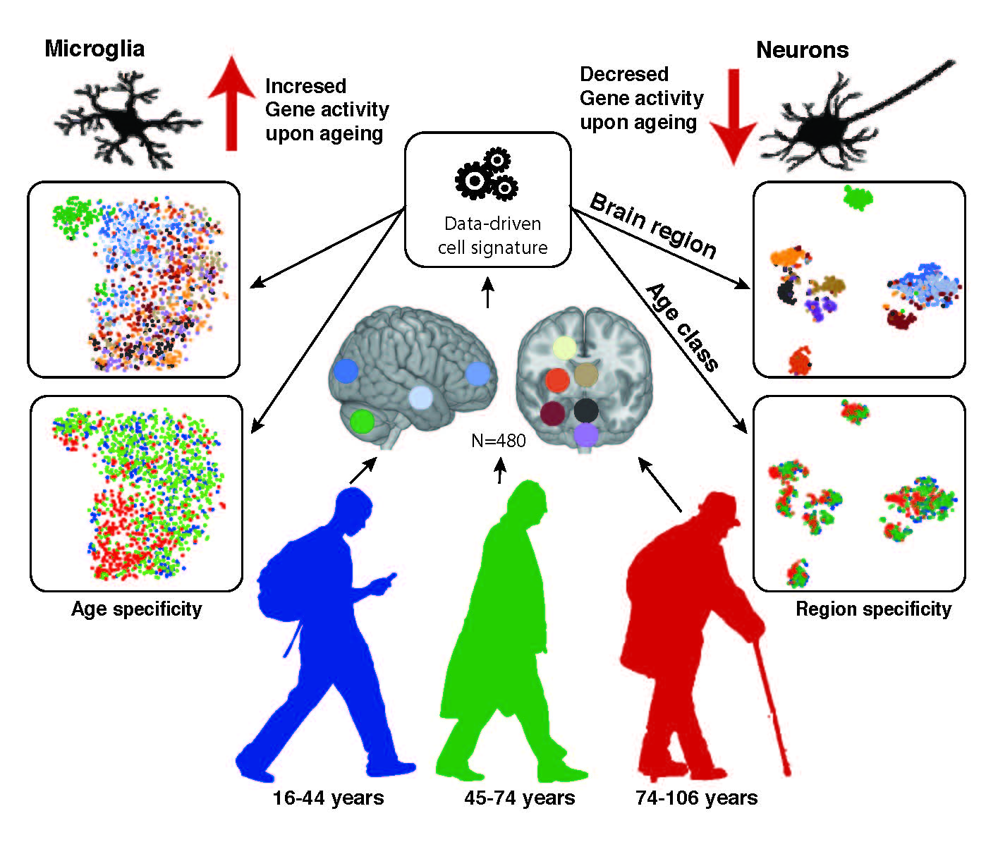 Glia Not Neurons Are Most Affected By Brain Aging