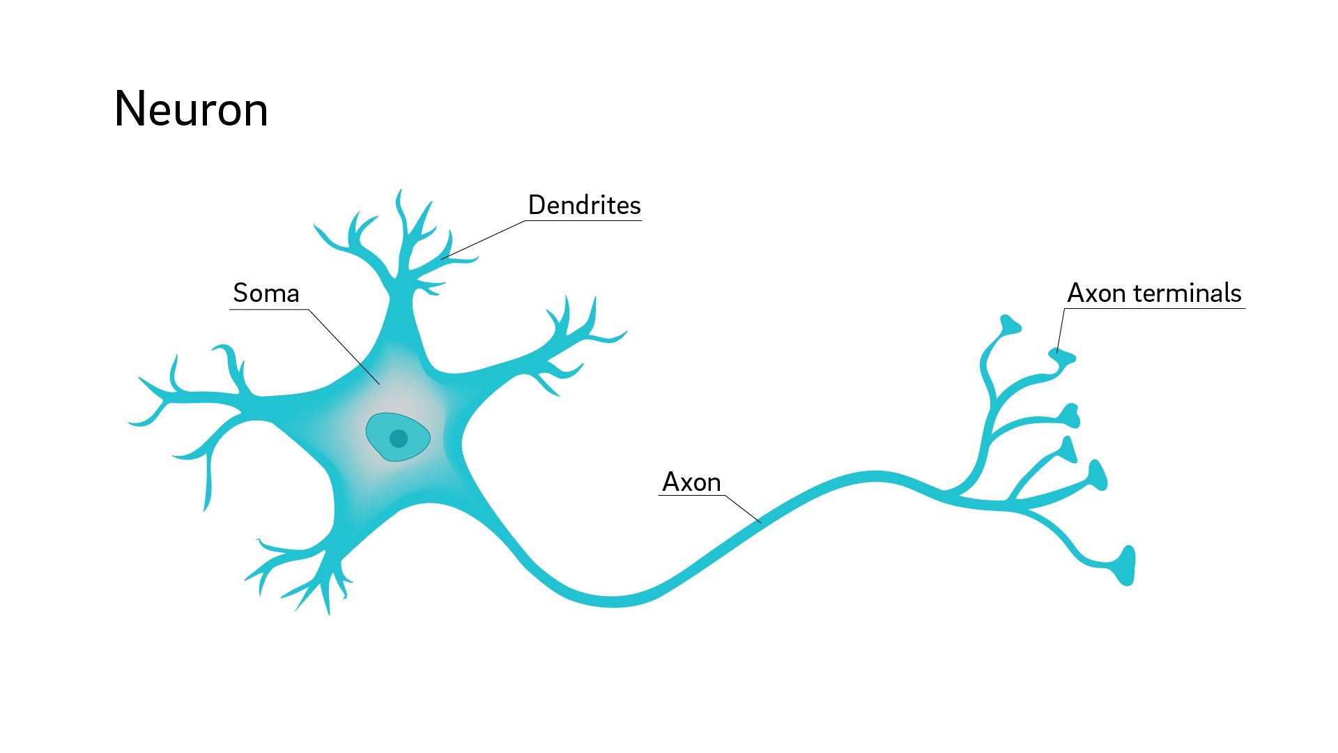 Why Are Neuron Axons Long And Spindly Study Shows They Re