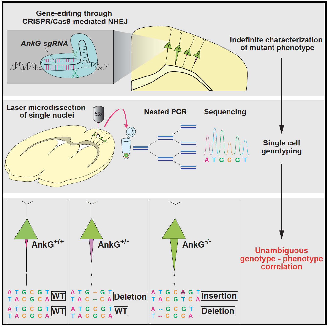 Linking Phenotypes To Genotypes A Newly Devised Gene