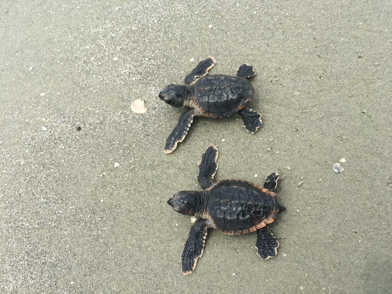 Loggerhead Turtles Headed For Record Breaking Season