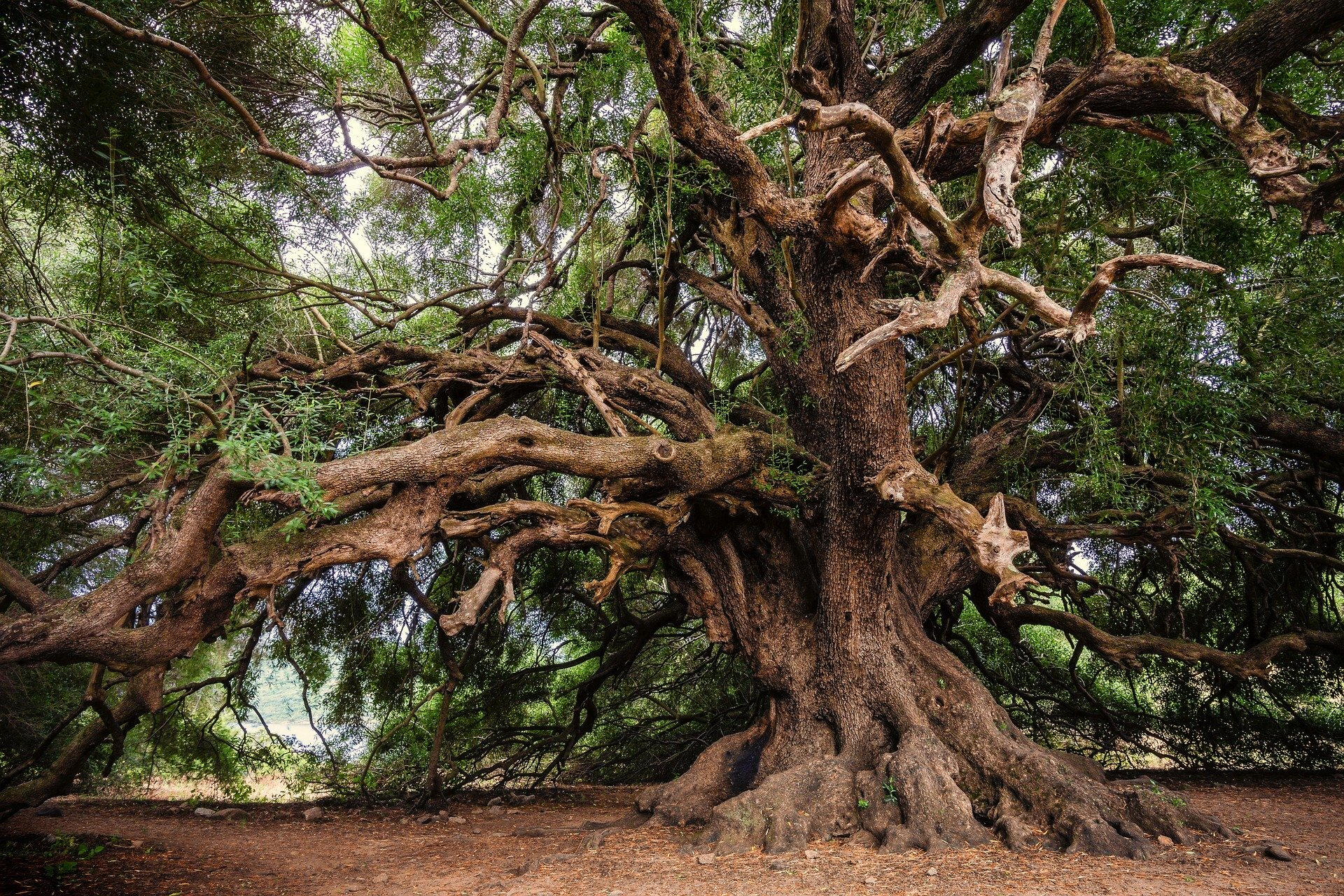 Despite Debate Even The World S Oldest Trees Are Not Immortal