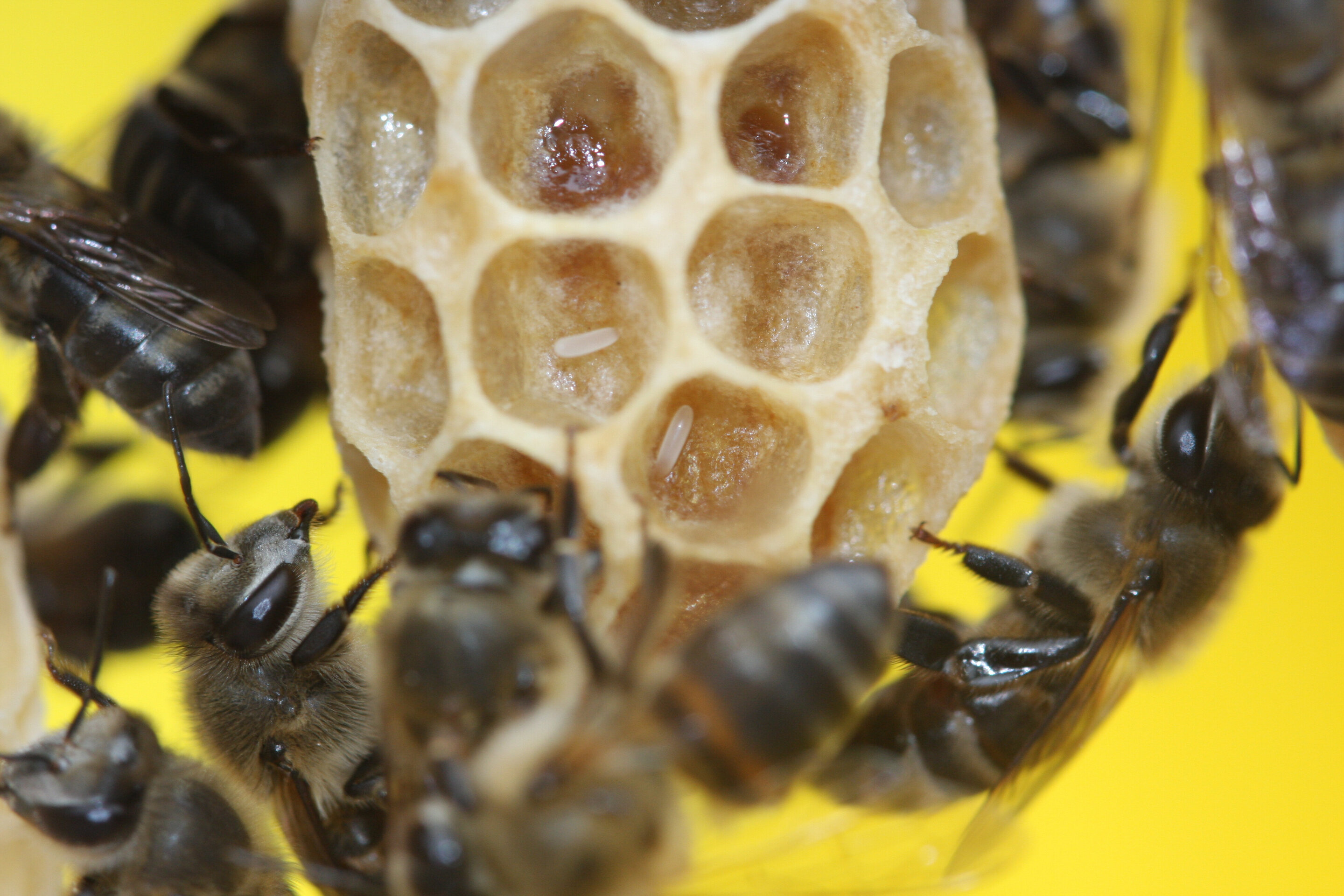 Researchers Discover A Gene In Honey Bees That Causes Virgin Birth