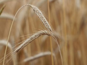 First full reference genome for rye published