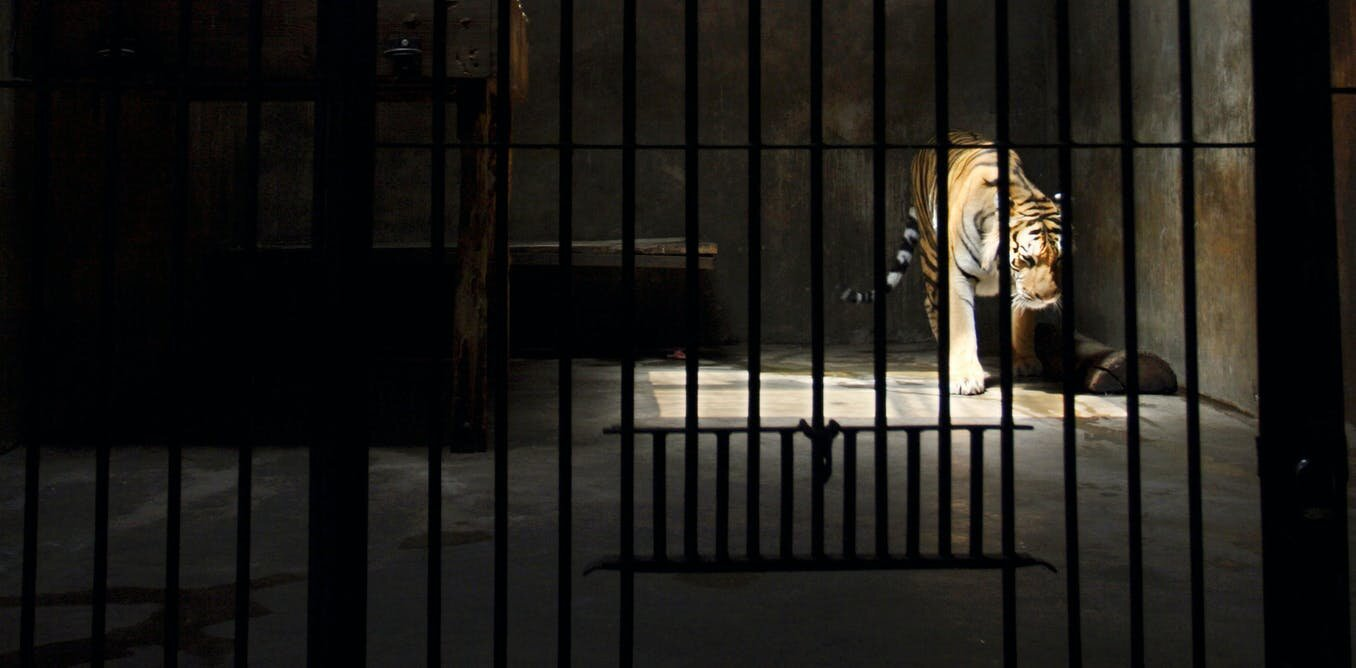"How ""tiger farms"" turned a wild animal into a species worth more dead than alive"