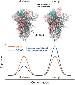Simulations reveal that the dominant strain of SARS-CoV-2 binds to the host, is subject to antibodies