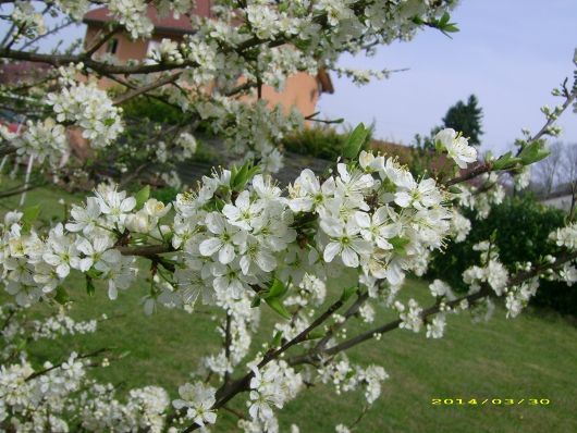 https://i1.wp.com/sd-5.archive-host.com/membres/images/164353825412355948/fleurs_mirabelle_2014_6.JPG
