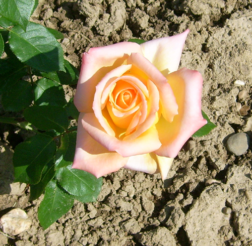 https://i1.wp.com/sd-5.archive-host.com/membres/images/164353825412355948/roses_17.jpg