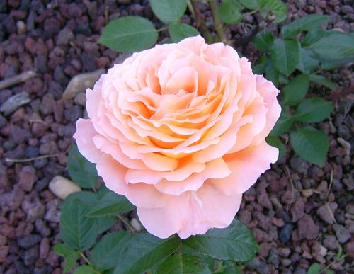 https://i1.wp.com/sd-5.archive-host.com/membres/images/164353825412355948/roses_9.jpg