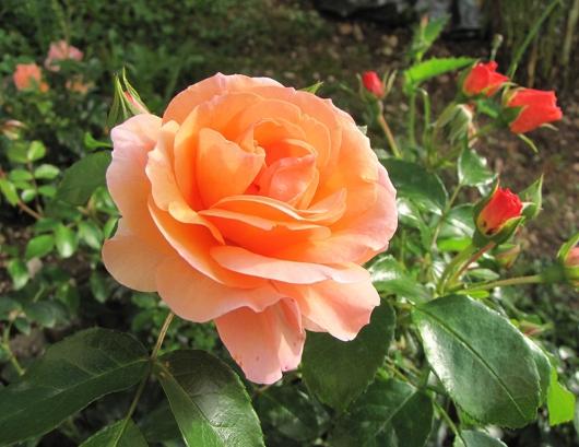 https://i1.wp.com/sd-5.archive-host.com/membres/images/164353825412355948/roses_tardives_9.JPG