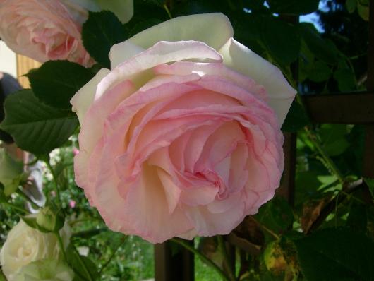 https://i1.wp.com/sd-5.archive-host.com/membres/images/164353825412355948/roses_toujours_2.JPG