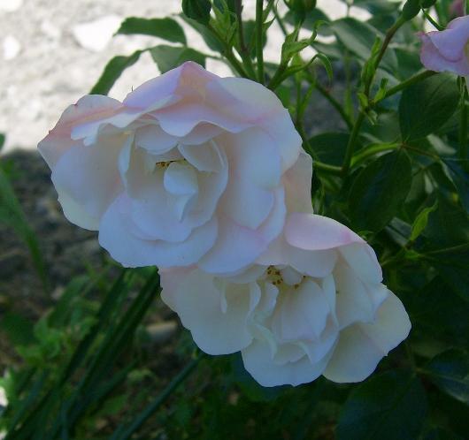 https://i1.wp.com/sd-5.archive-host.com/membres/images/164353825412355948/roses_toujours_5.JPG