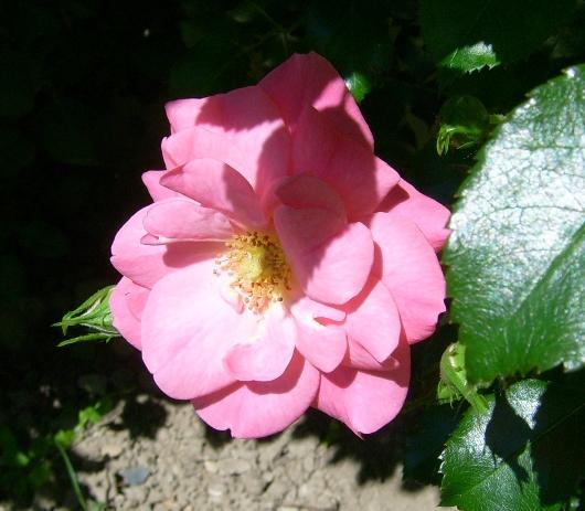 https://i1.wp.com/sd-5.archive-host.com/membres/images/164353825412355948/roses_toujours_6.JPG