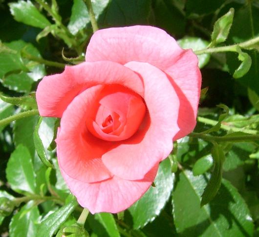 https://i1.wp.com/sd-5.archive-host.com/membres/images/164353825412355948/roses_toujours_7.JPG