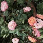 聖書の植物の庭の鉢植えのバラもこの雨で活気づいている