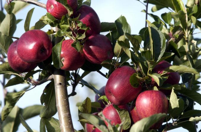 南加州的气候适合种植各种水果。(图/Getty Images)