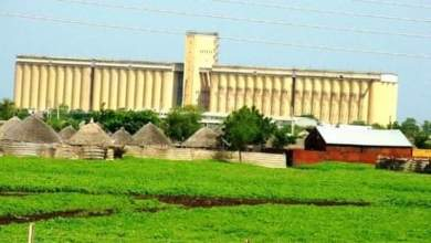 أسعار الذرة والوارد منه في سوق محاصيل القضارف