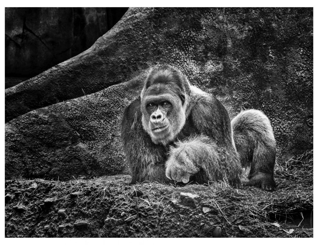 """Honorable mention, Wildlife Captive category: """"Gorilla"""" by Dan Fuqua"""