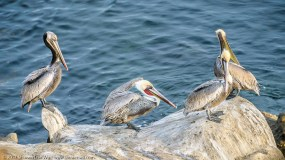 Sitting Brown Pelicans, by Shuwen Lisa Wu